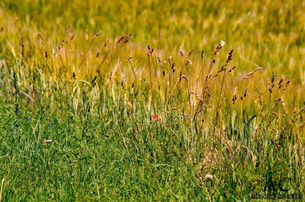Das Licht lässt die verschiedenen Grüntöne dieser Sommerwiese leuchten. Kleine Kornblumen sind zwischen dem Gras
