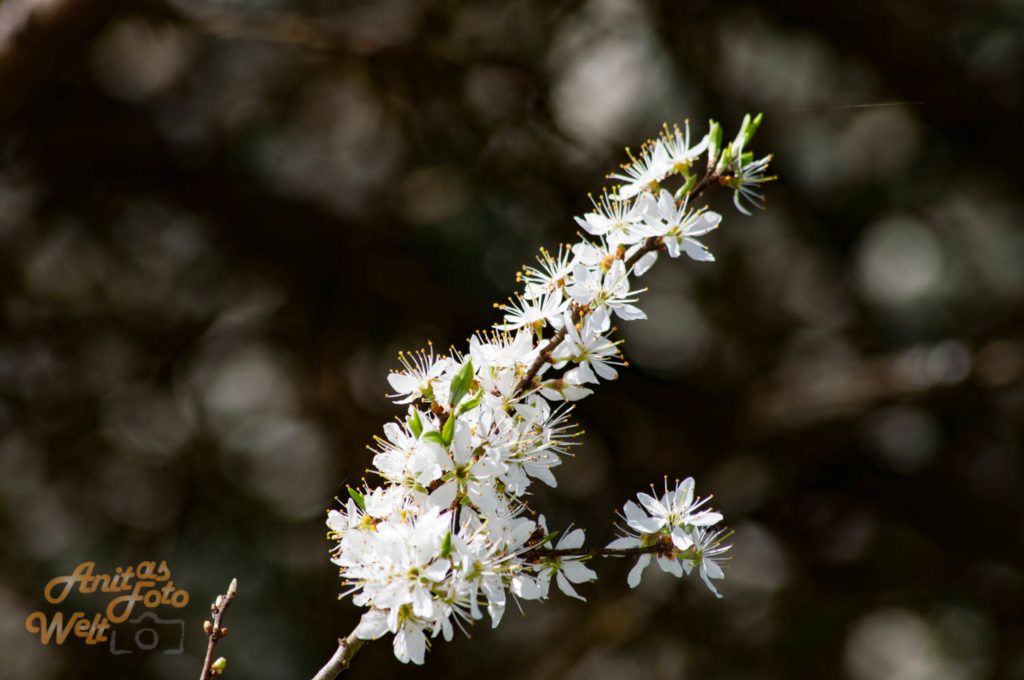 Filligrane Kirschblüten