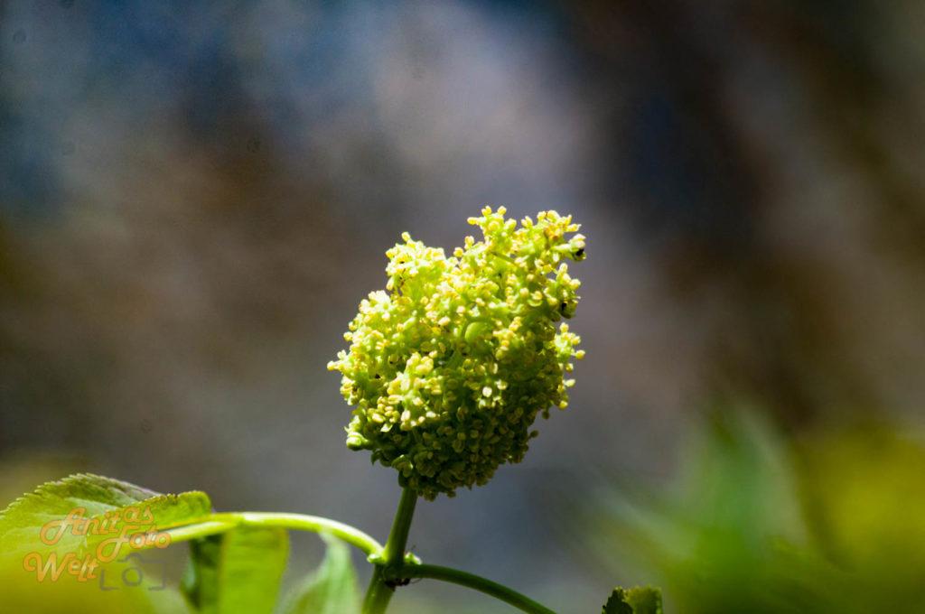 Der Holunder blüht