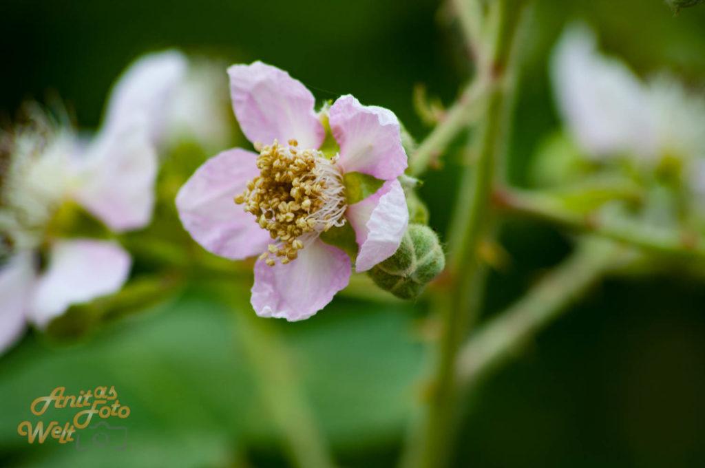Brombeerblüten und Knospen
