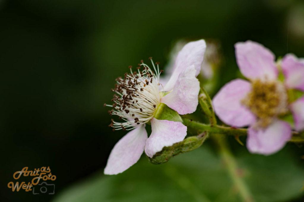Brombeerblüten im zarten Rosa