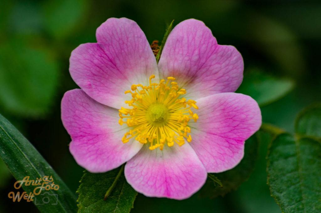 Kräftiges Rosa
