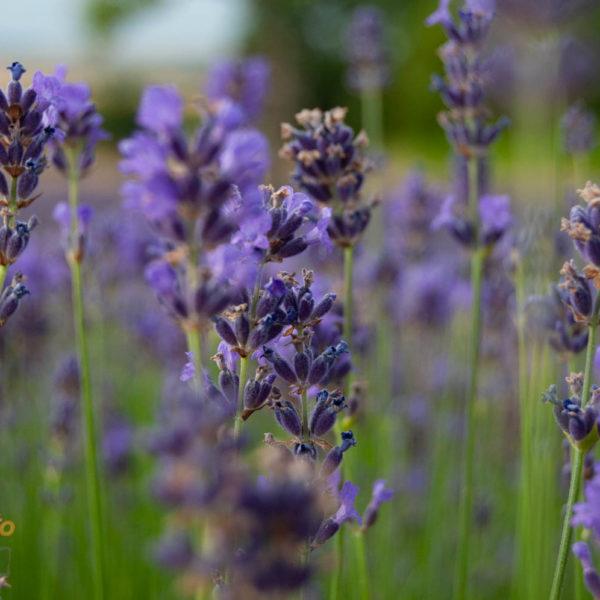 Nicht nur der Lavendel ist schön