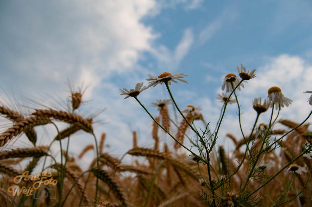 Margeriten im Feld