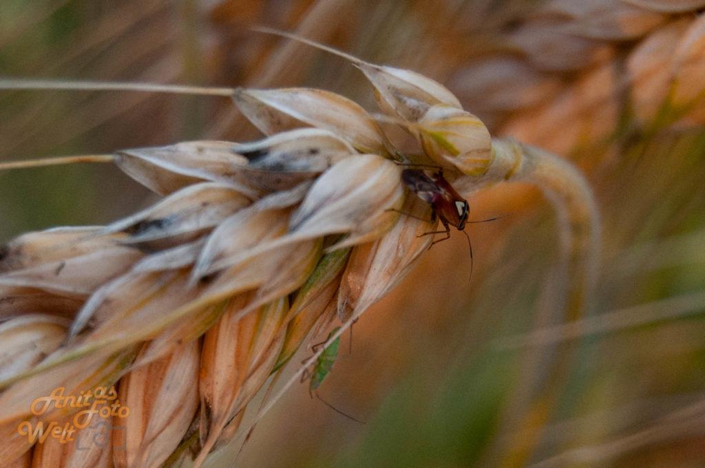 Kleine Wanze am Getreide