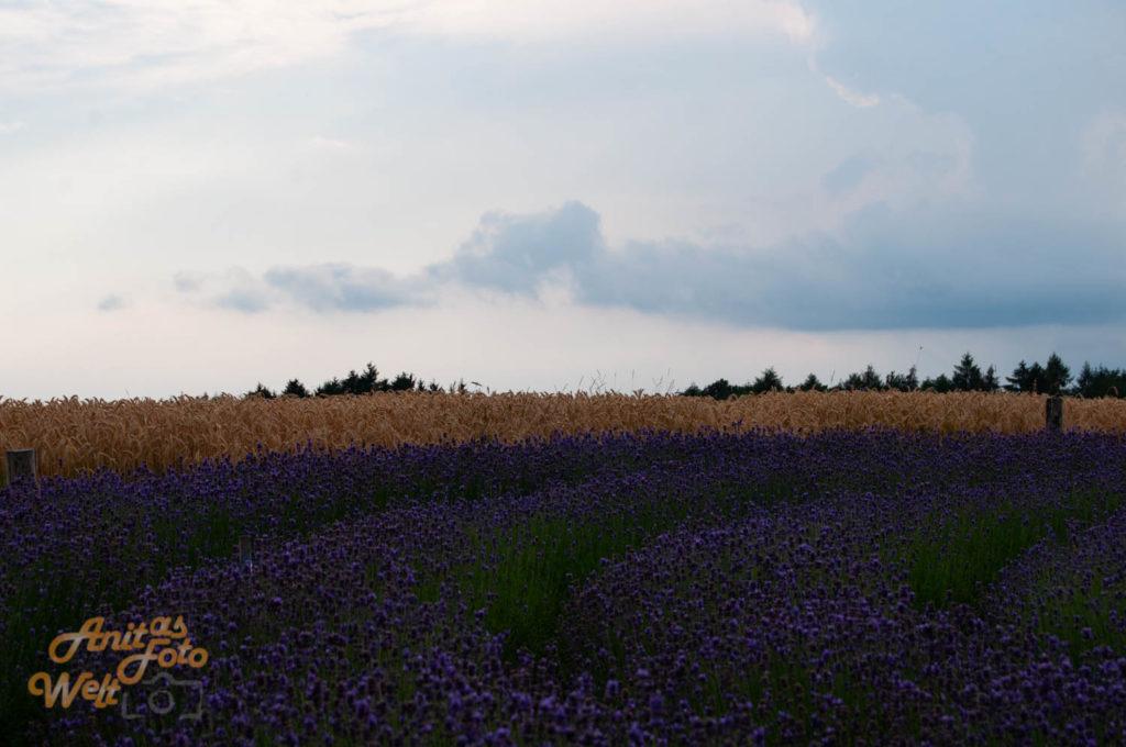 Blick über das Lavendellabyrinth