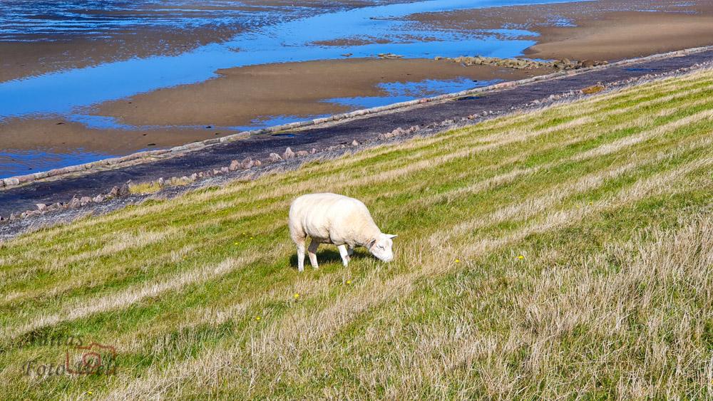 Eines der vielen Schafen die wir sahen