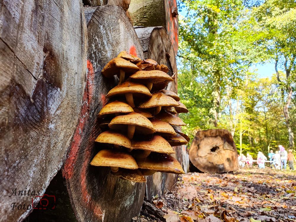 Pilze am Holzstapel