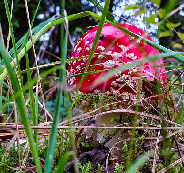 Im Wald bei Michelbach gibt es viele Fliegenpilze