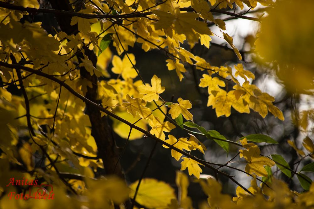 Goldenes Blätterdach im Herbst