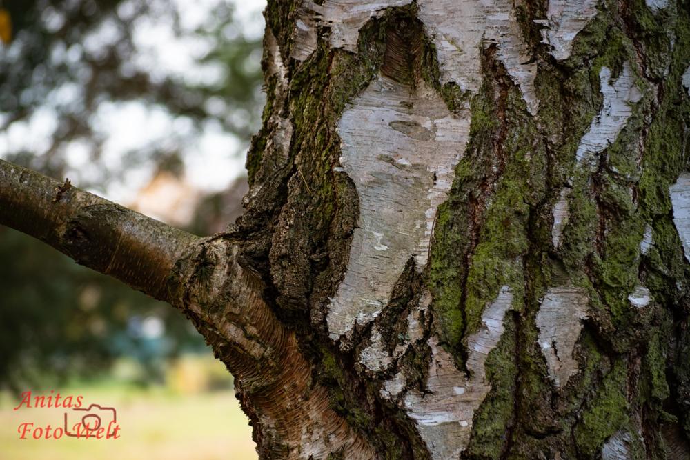 Rinde eines Birkenbaumes