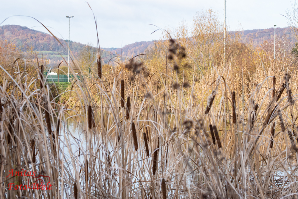 Schilfrohr am See