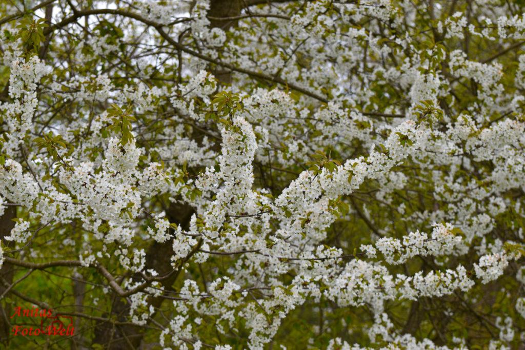 Blüten am Obstbaum