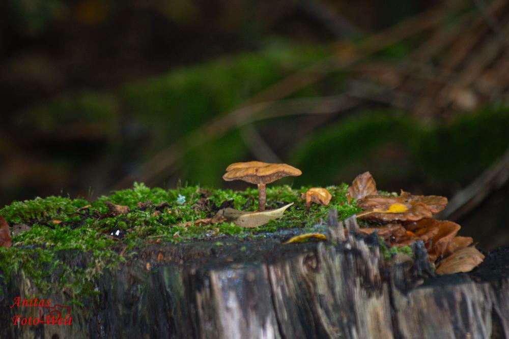 Pilz auf Baumstupmf